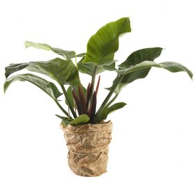 Philodendron Imperaial Green